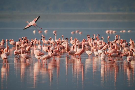 flamingos-1099071.jpg