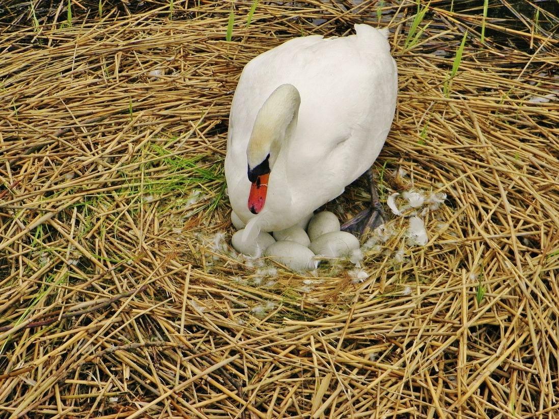 swan-359613_1920.jpg
